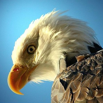Bald Eagle Photography Collection