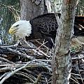 Bald Eagles Collection