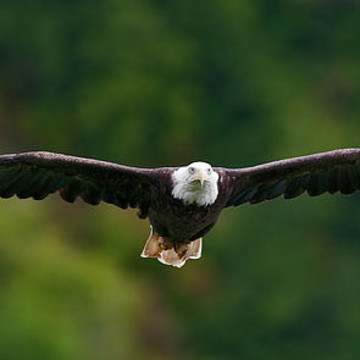 Bald Eagles Collection
