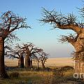 Baobab trees Collection