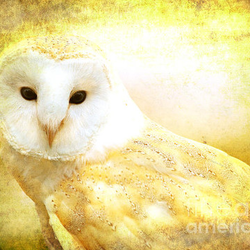 Barn Owls Collection