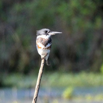 Belted Kingfisher Collection