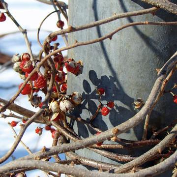 Berries - Seeds - Vines - Weeds Collection