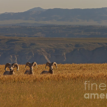 Big Horn Sheep-Stock Images Collection