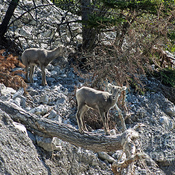 Bighorn Sheep Collection