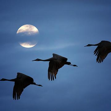 Birds - Cranes Collection