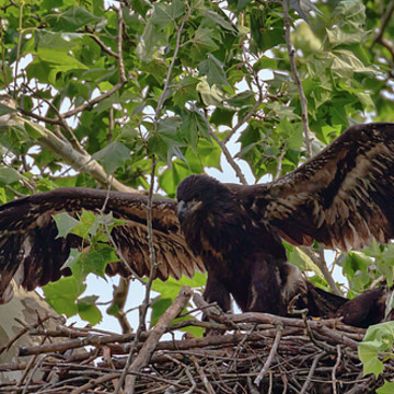 Birds - Nesting Eaglets Collection