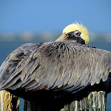 Birds - PELICANS Collection