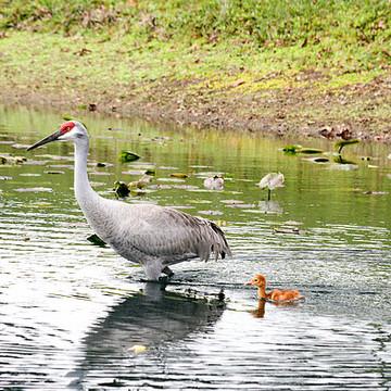 Birds - SANDHILL CRANES Collection