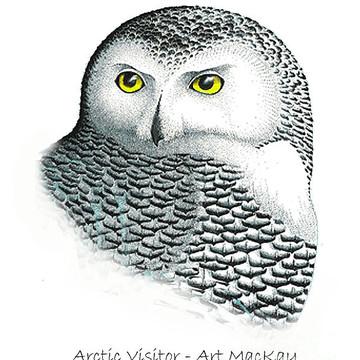 Birds - Snowy Owl Collection