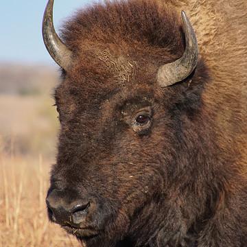 Bison America
