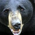 Black Bear Collection