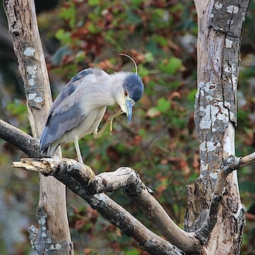 Black Crowned Night Heron Collection