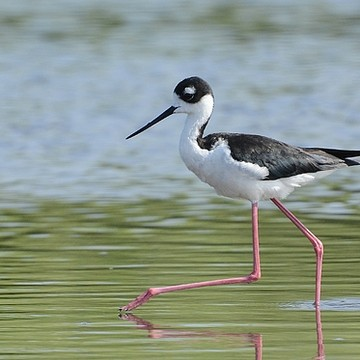 Black Necked Stilts Collection