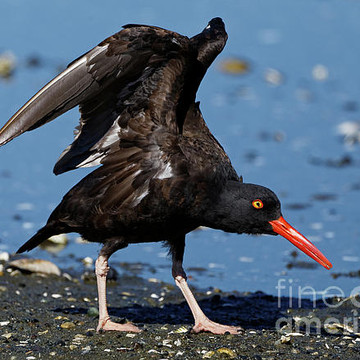 Black Oystercatcher Collection
