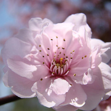 BLOSSOMS ART PRINTS Baslee Troutman SPRING BLOSSOMS TREE BLOSSOMS PINK WHITE Blue Sky Landscapes Macro Collection
