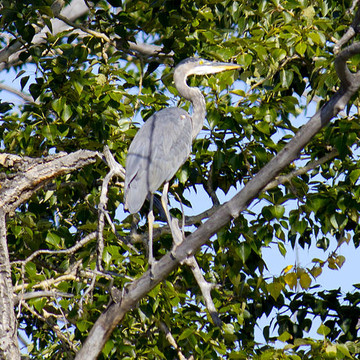 Blue Heron Collection
