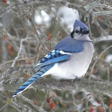 Bluejays Collection