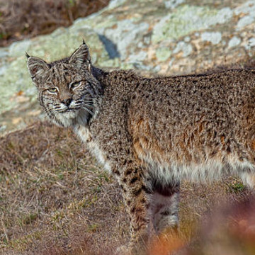 Bobcat Collection
