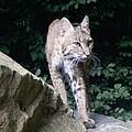 Bobcat Series