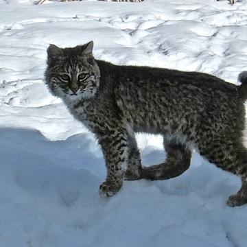 Bobcats Collection