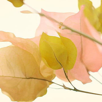 Bougainvillea Series Collection