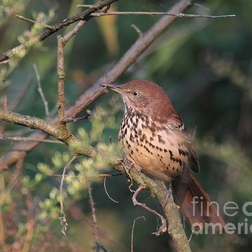 Brown Thrasher Collection