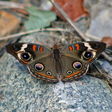 Buckeye Butterflies Collection