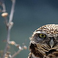 Burrowing Owl Collection