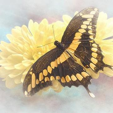Butterflies Collection