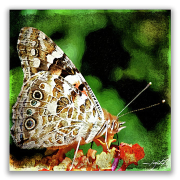 Butterfly 1 Collection