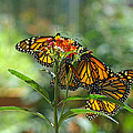 Butterfly Art Prints Monarch Butterflies Collection