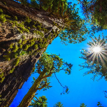 CA Calaveras Big Tree State Park Collection