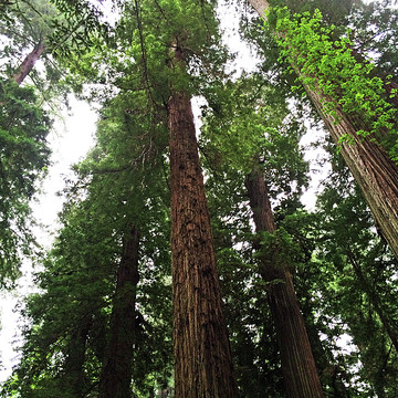 California Redwood Trees Collection