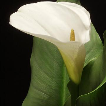 Calla Lilies Collection