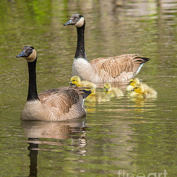 Canadian Geese Collection