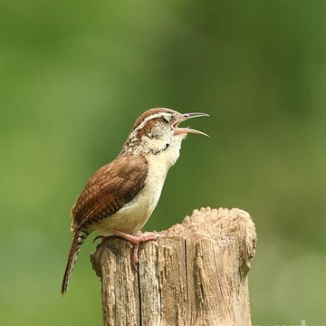 Carolina Wren Collection