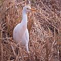Cattle Egrets Collection