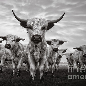Cattle Gallery Collection