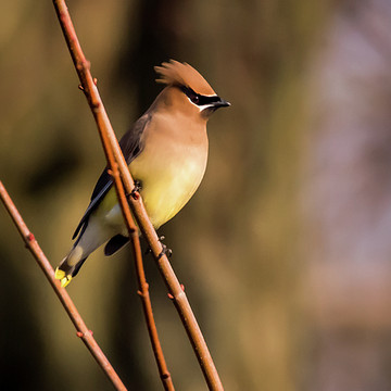 Cedar Waxwings Collection