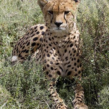 Cheetahs Collection