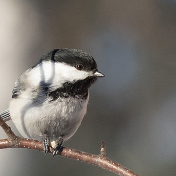 Chickadee Photos Collection