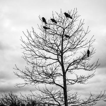 Cloudy Day Blackbirds Collection