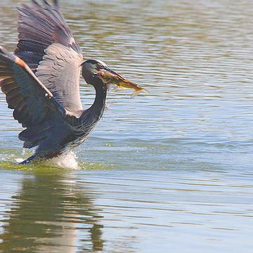Coastal Water Birds - Shore Birds Collection