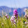 Colorado Mountain Wildflowers Collection