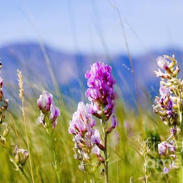 Colorado Mountain Wildflowers