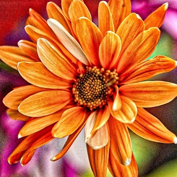Colorful Daisies Collection
