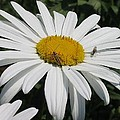 Common Daisies Collection