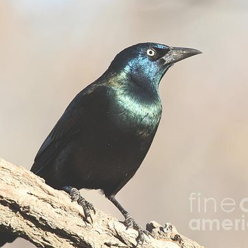 Common Grackle Collection