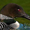 Common Loons Collection